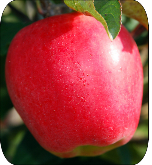 Figure 4. Ambrosia™ is a bi-coloured apple with a pinkish red blush on creamy yellow background.