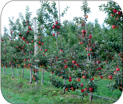 Figure 6. Ambrosia™ trees on M.9 rootstock in their 5th leaf. Fruit size and quality have been excellent at harvest.