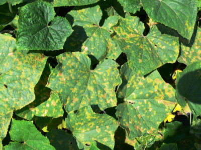 Cucumber Plant Diseases Leaves http://www.omafra.gov.on.ca/english/crops/facts/10-065.htm