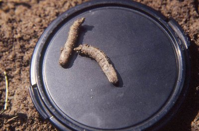 A close-up of two European crane fly pupae photographed on a camera-lens cover background showing the 3-4 cm long brown pupae.