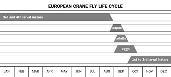 Illustration of European crane fly life cycle showing the time of year when each of the life stages is found.