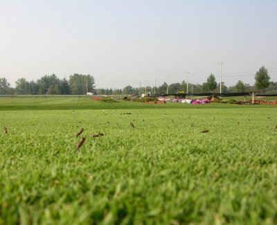 A photo taken close to the turf surface showing large numbers of empty pupal casings on closely mowed turf.