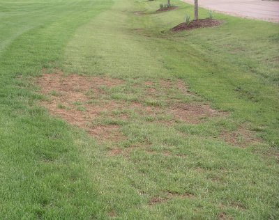 A low, poorly drained area of turf that has thin areas and dead patches caused by leatherjacket feeding in the spring.