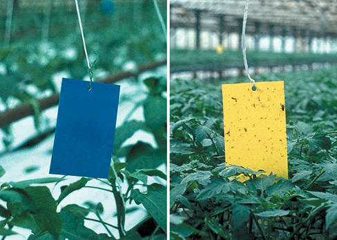Thrips in Greenhouse Crops - Biology, Damage and Management