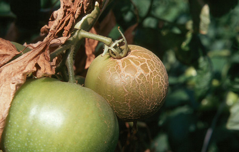 Figure 16. Tomato fruit infested by russet mites are bronzed and cracked in appearance.