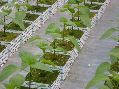 Figure 1. Photo of pepper transplants on clean floor in propagation house.