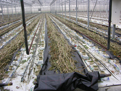 Figure 20. Photo showing the residue of old crop in the greenhouse.
