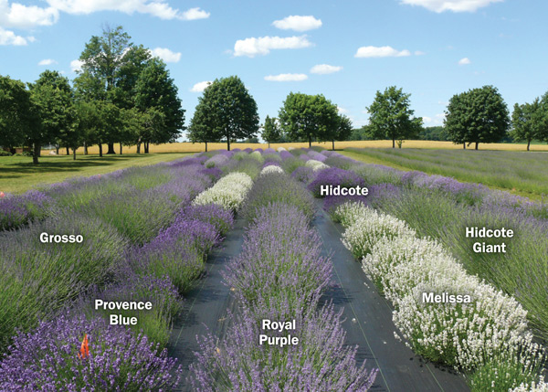 Figure 2. A cultivar trial site with seven rows of lavender and a variety of lavender cultivars in bloom.