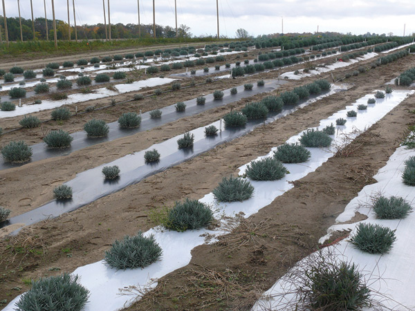 Figure 4. The image shows eight rows of lavender plants grown on plastic mulch.