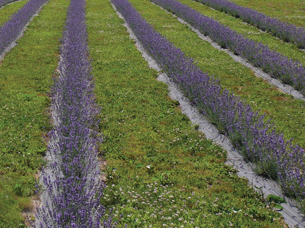 Figure 5. Close-up photo of lavender plants in bloom on black plastic mulch.
