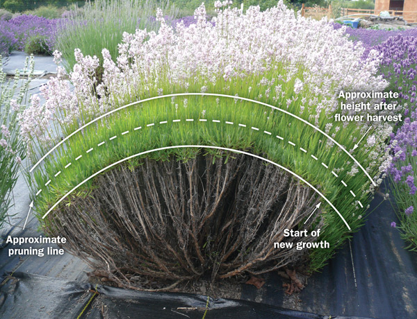 Figure 6. An illustration of a lavender plant with lines showing how it should be pruned.