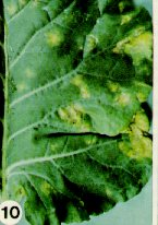 Early symptoms of downy mildew on broccoli leaf.