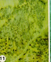 Advanced symptoms of downy mildew on cabbage leaf.