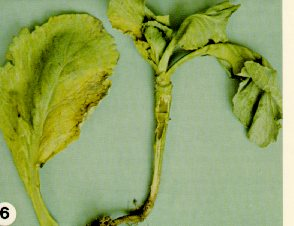 Plant and leaf of cabbage affected by Fusarium yellows.