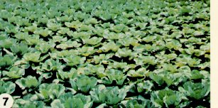 Cabbage field affected by Fusarium yellows.