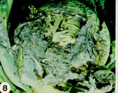 Sclerotinia blight on savoy cabbage.