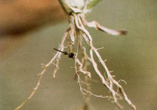 The best identification feature of proso millet is the long-lasting seed husk attached to the roots.