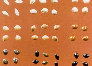 The colour of proso millet seeds varies from light to very dark.