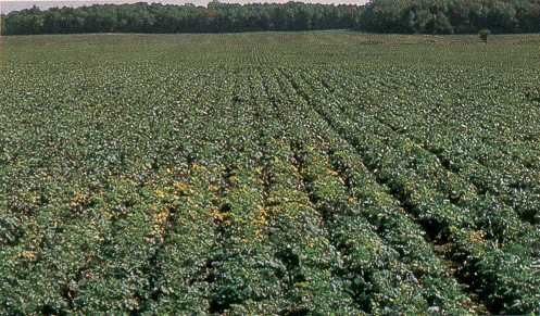 Patch of TuMV in a rutabaga field showing premature yellowing of older leaves.