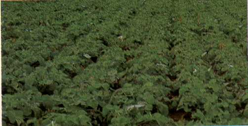 Healthy field of rutabaga sprayed weekly with a 1% oil solution to prevent infection with turnip mosaic virus.