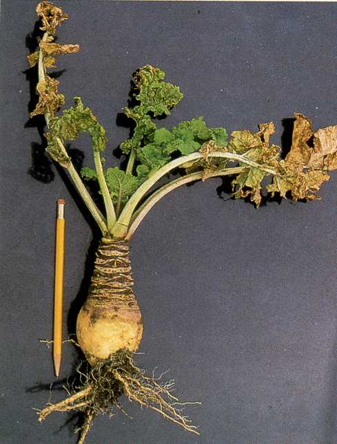 Small misshapen (grose-necked) root of a 14 week old rutabaga plant infected in early July