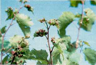 Photo of a De Chaunac grape vine