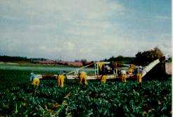 Figure 2. Harvest aid being used in cutting broccoli.