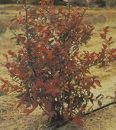 Bright foliage colour in autumn adds to the ornamental value of highbush blueberries.
