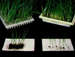 Plug transplants offer greater uniformity and labour saving with mechanical transplanting over bare-root plants.