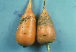 Feeding tunnels of the carrot rust fly, found mainly in the lower two-thirds of the root.