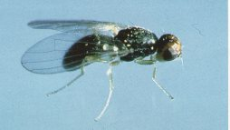 Adult carrot rust fly.