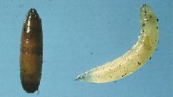Pupa of carrot rust fly, left; larva, right.