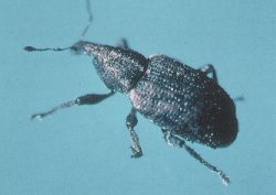 Adult carrot weevil.