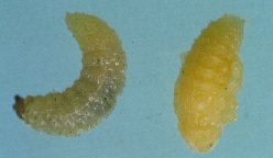 Pupa of carrot weevil, left; larva, right.