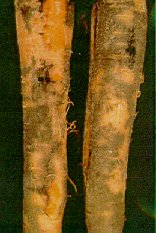 Black root rot.