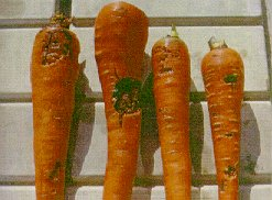 Crown rot lesions on harvested carrots.