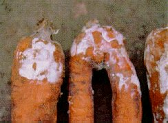 Crater rot on stored carrots.