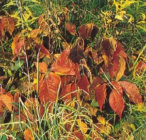 Poison-ivy may turn bright orange-red to wine-red in autumn.