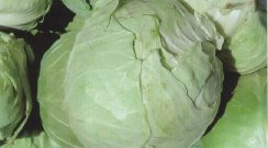 Thrips damage on cabbage appears as small brownish-gray wartlike growths on the leaf surface.