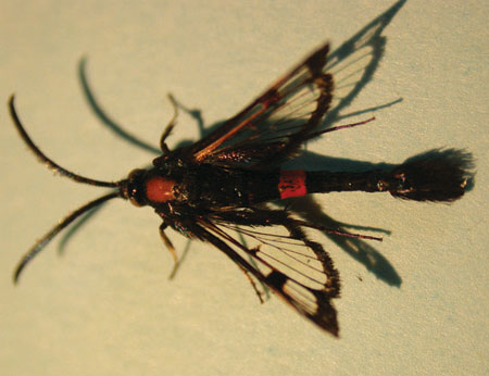 Figure 4-41. Apple clearwing moth adult