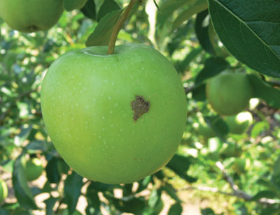 Figure 4-119. A small scab lesion on a fruit