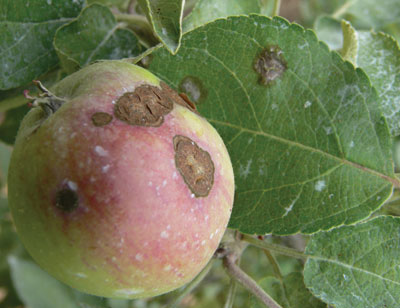 Figure 4-121. Scab lesions cause fruit to become deformed and cracked when infected at an immature stage