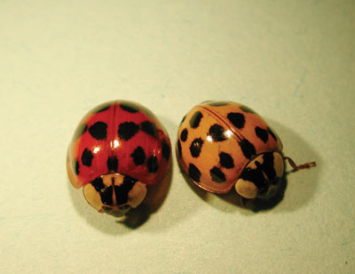 Figure 4-219. Multi-coloured Asian lady beetle adults