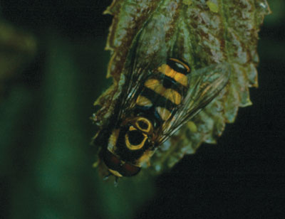 Figure 4-213. Hover fly adult