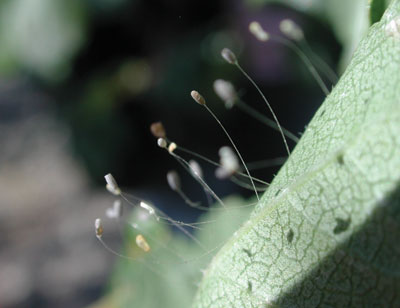Figure 4-214. Lacewing eggs