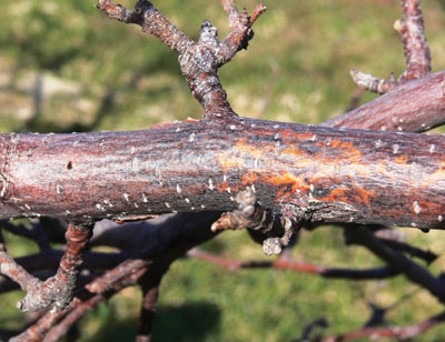 Black rot canker on infected apple tree limb