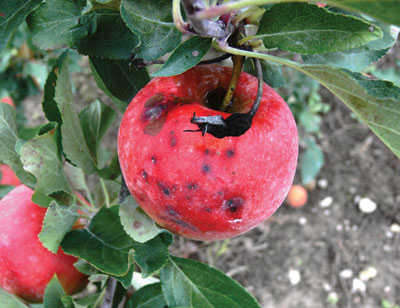 Initial black rot symptoms on mature apple fruit appear as black sunken spots