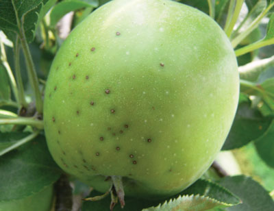 Figure 4-163. Blister spot lesions eventually become purplish black with a tan centre expanding no more than 4-5 mm in diameter on the fruit surface