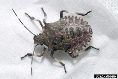 Figure 2. Brown marmorated stink bug nymph