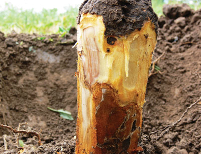 Figure 4-144. Scraping the bark away from the crown and collar of a fruit tree infected with Phytophthora reveals an orange-red canker limited by a dark margin separating it from the white healthy tissue